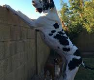 The Day I Was Nearly Eaten By A Great Dane