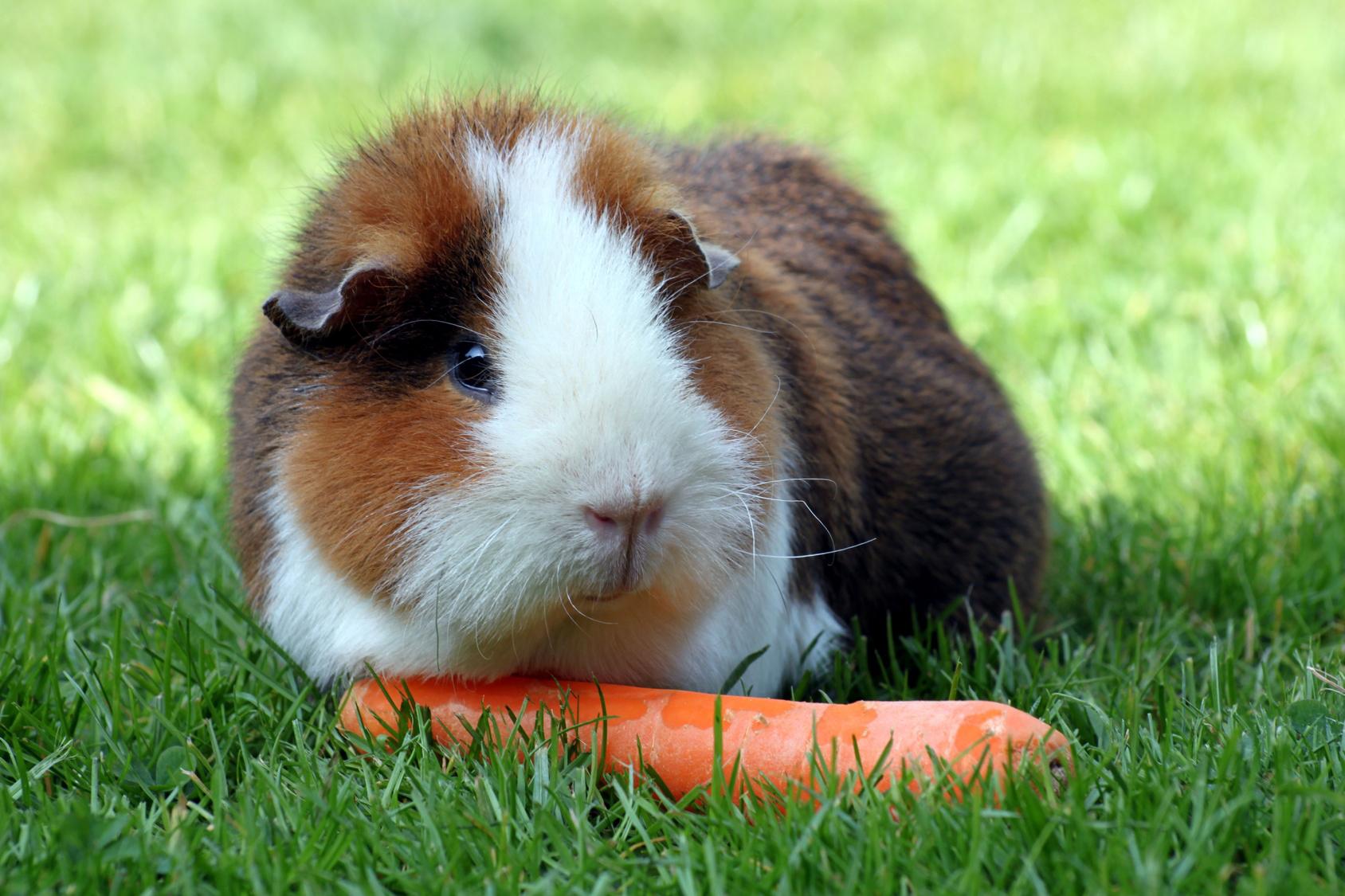 cochon-dinde-carotte