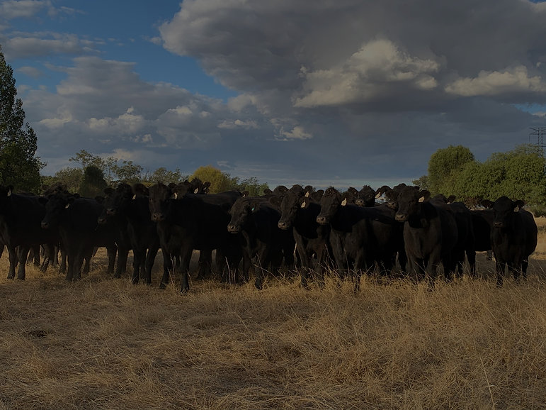 NBGenetics Angus bulls for sale, Chinchilla, QLD