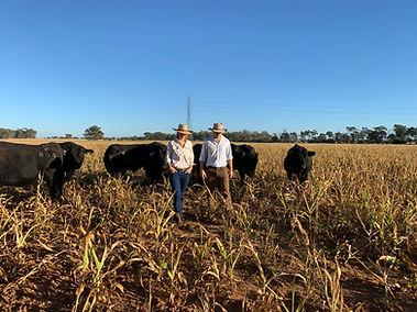 NBGenetics Angus bulls for sale, QLD
