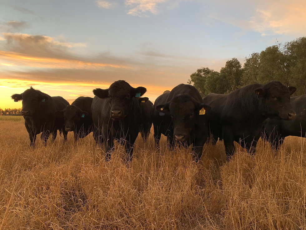 NBGenetics Angus Bulls for Sale, QLD