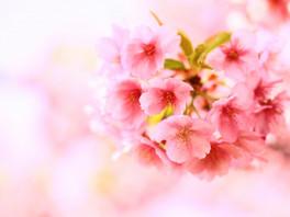 【茨城県の桜のお祭り】干し芋のふるさと♪
