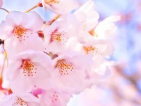 【水戸の桜の名所をご紹介します♪】茨城の名産品ほしいものふるさと