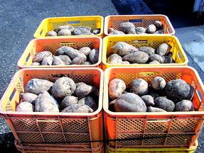 お芋の品種について