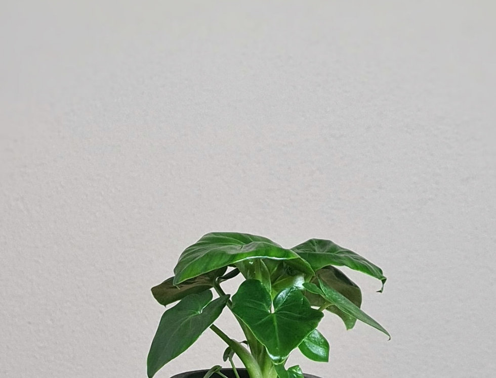 Philodendron Mix Tammy