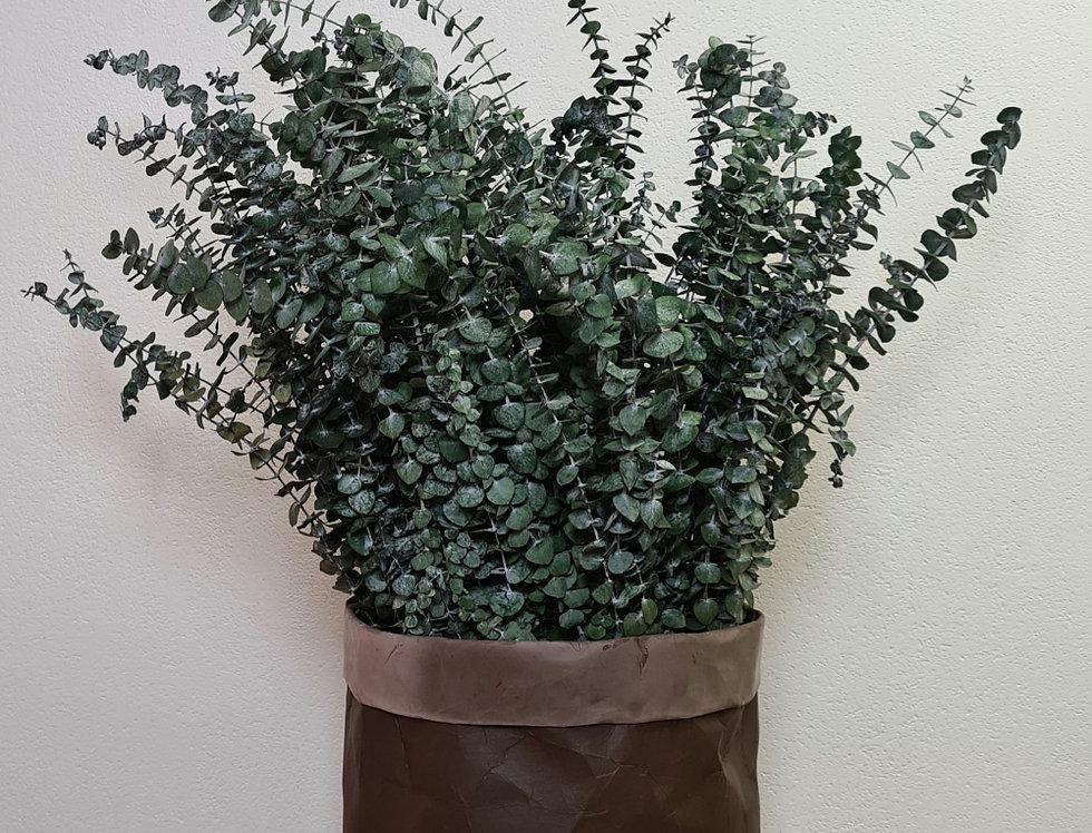 Eucalyptus, Babyblue