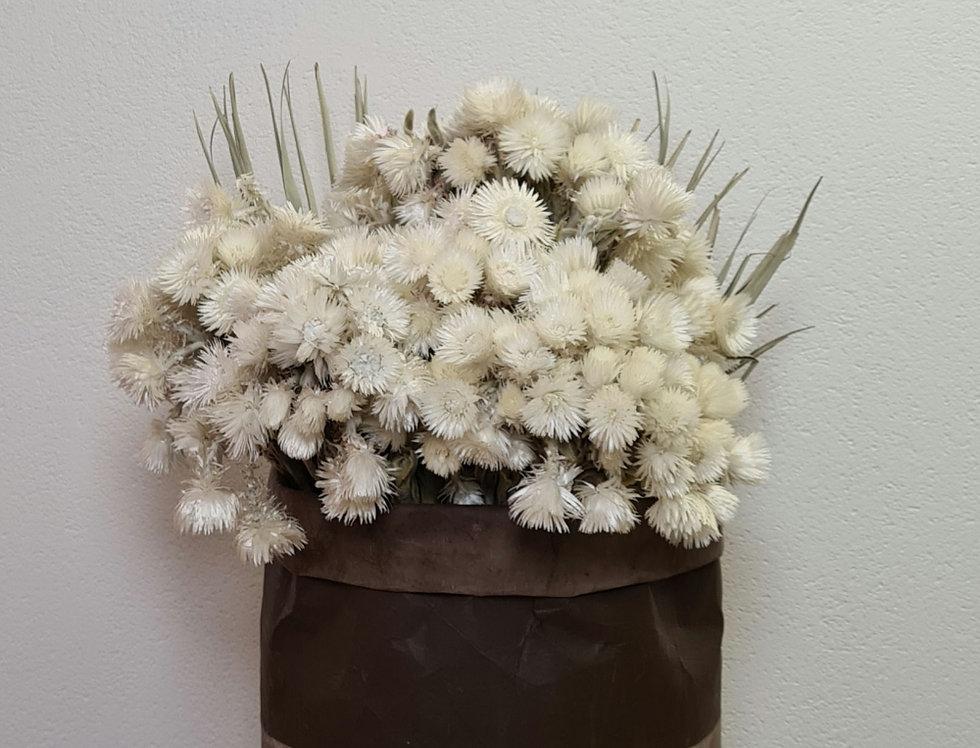 Strohblume , weiß gebleicht