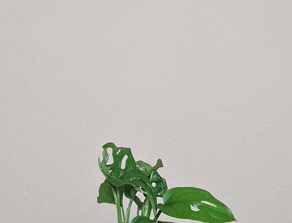 Monstera Head Mix, mint