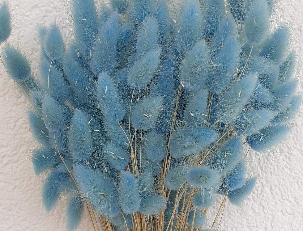Bunnytailgras, blau