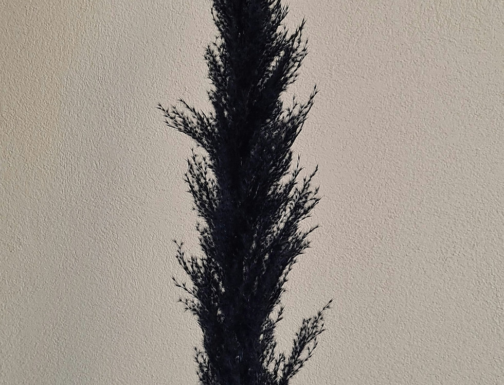 Pampasgras, schwarz