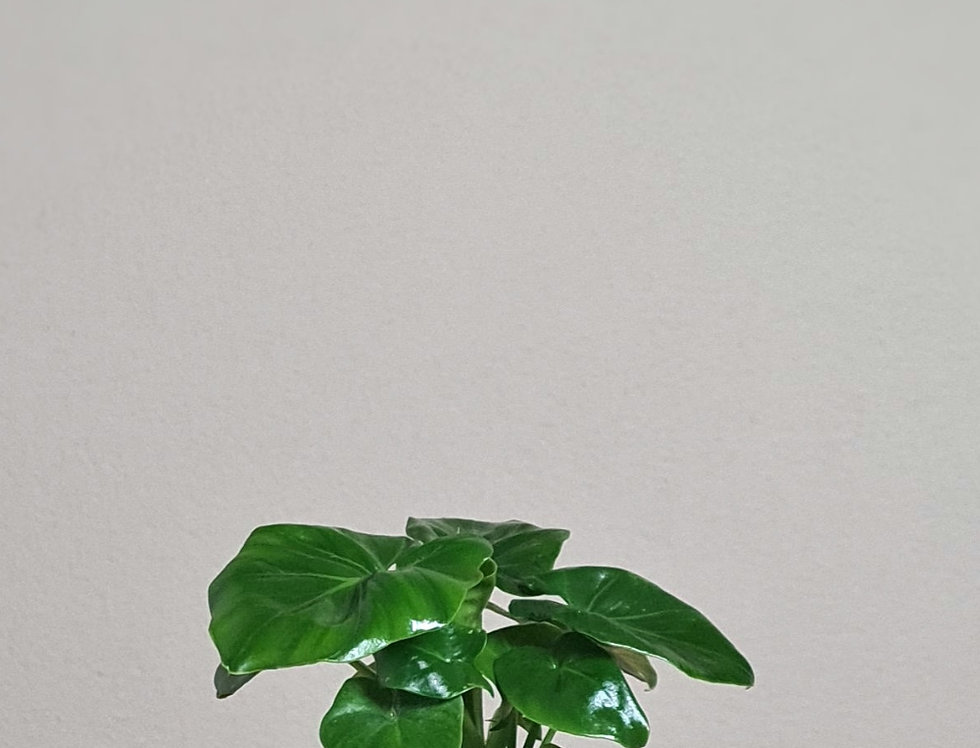 Philodendron Mix Tabea