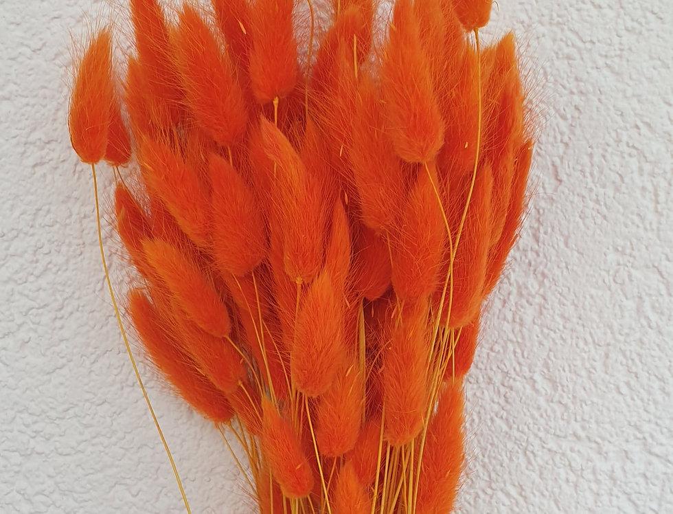 Bunnytailgras, orange