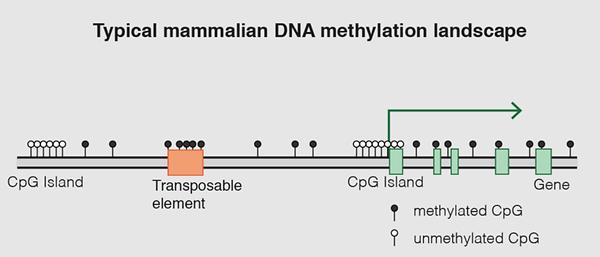 Typical Mammalian DNA Methylation Landsc