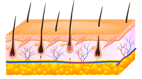 skin-cross-section.PNG