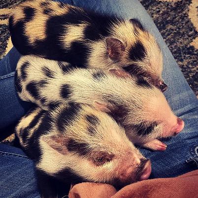 mini pigs1.jpg