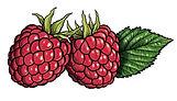 Raspberries and leaf.jpg