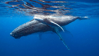 A VOICE FOR WHALES | Hawaii