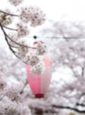 Cherry Blossom and a lampion in Japan