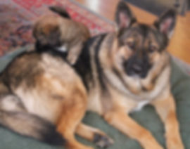 German Shepherd and foster puppy