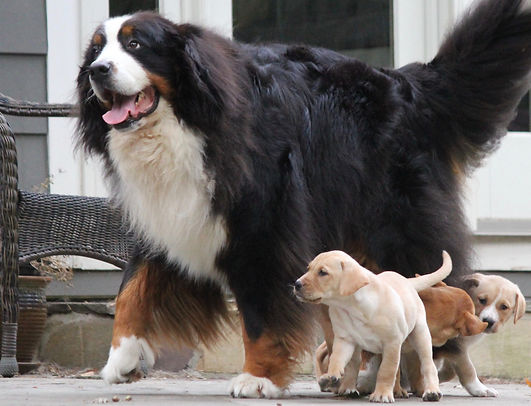 Bernes Mountain Dog and foster puppies