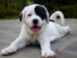 Great Pyrenees mix foster puppy