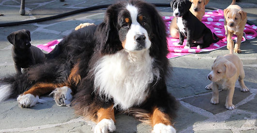 Bernese Mountain Dog and foster puppies