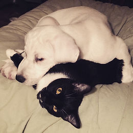 kitty and great pyrenees foster puppy