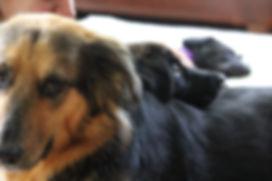 australian shepherd and foster puppy