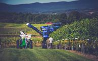 Advanced Grape Picking Technology at Stony Run Winery.jpg