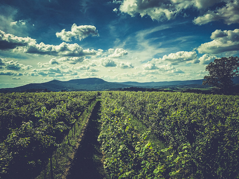 Vineyard View With Mountain Background.j