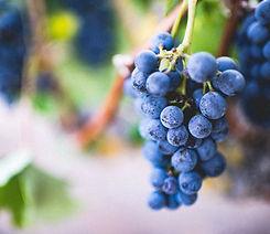 Grapes Vine Winery Vineyard_edited.jpg