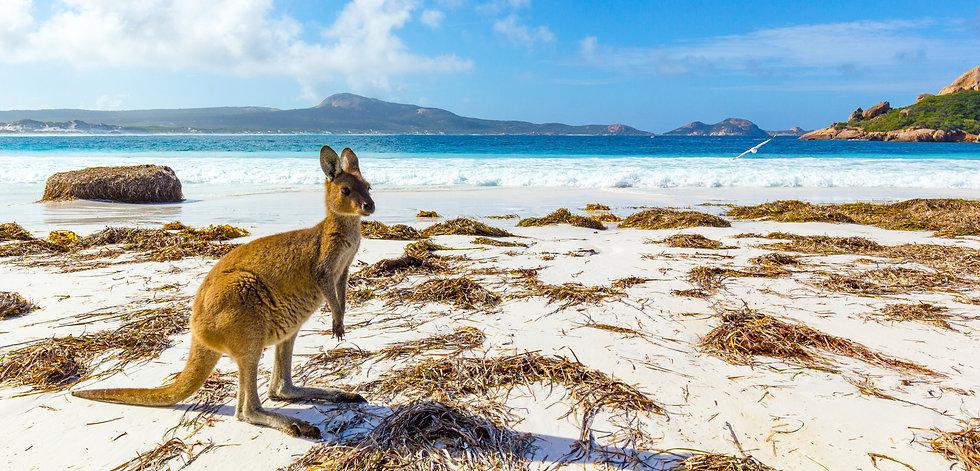 Zuid Australië kangaroo op het strand Lu