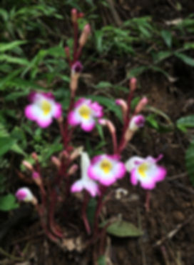 Magenta-ghost-flower-copy.jpg