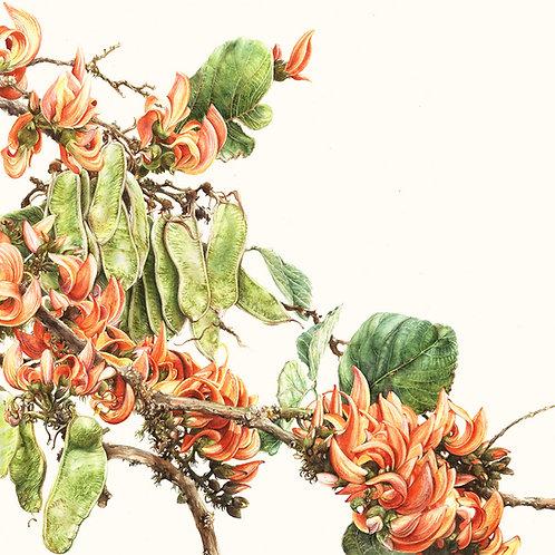 Butea monosperma | Flame of the Forest