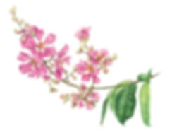 Crepe-Myrtle-website.jpg