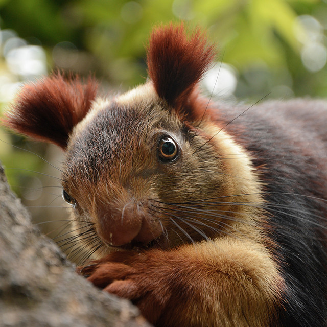 A malabar giant squirrel