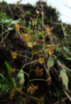 Drosera-peltata-(36).jpg