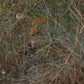 A leopard among the lantana bushes