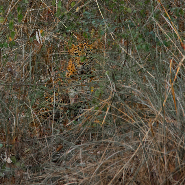 A leopard among the lantana bushes
