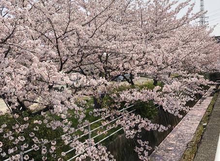 桜満開の神社挙式