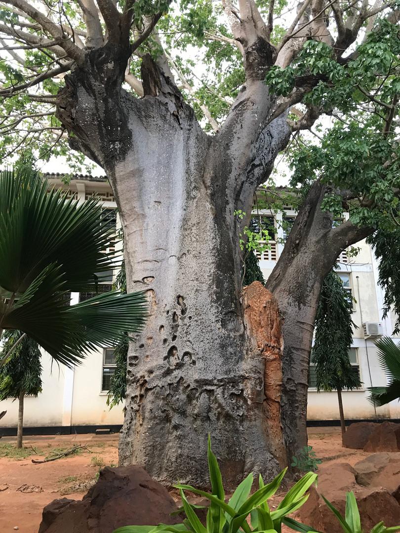 Mbuyu, a baobab tree and an enduring symbol of Kilifi