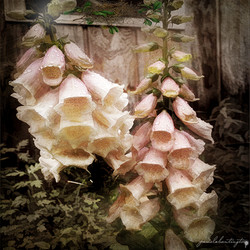 Foxglove for Kimberly-sharpen-sharpen
