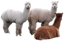Alpacas All 2.png