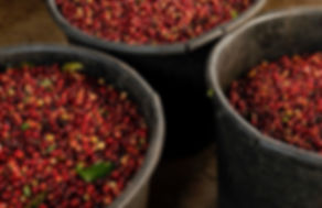 Lynwood & Co Easy Jose raw coffee bans in harvesting vessel