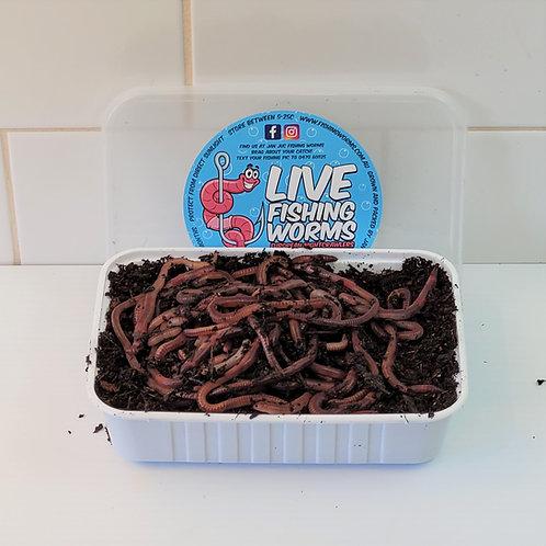 100 Live Bait Fishing Worms - European Nightcrawlers