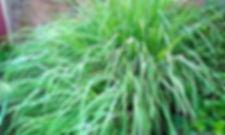 citronella daun.jpg