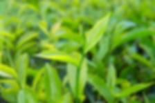 tea tree.jpeg