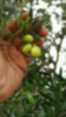 arbequina olive.jpg