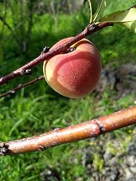 tropic sweet peach.jpg