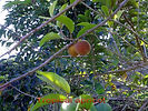 tropical apricot